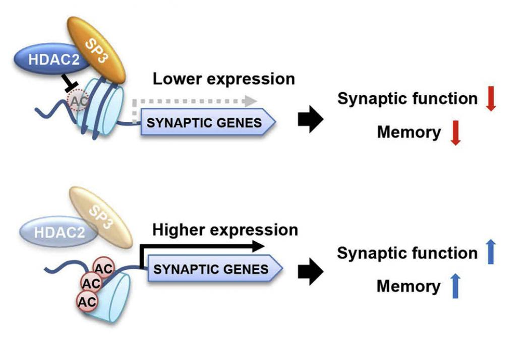 Schematics show HDAC2 and SP3 combining to inhibit memory
