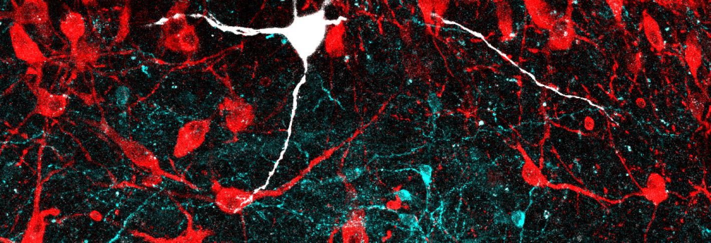 Confocal microscopy image of the locus coeruleus region of the mouse brain displaying noradrenergic neurons in red and GABAergic neurons in cyan. A noradrenergic neuron recorded in the study is highlighted in white