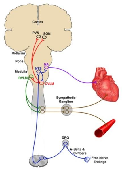 A circuit diagram shows nerves in the body connecting to the brain and then out to the heart and vasculature