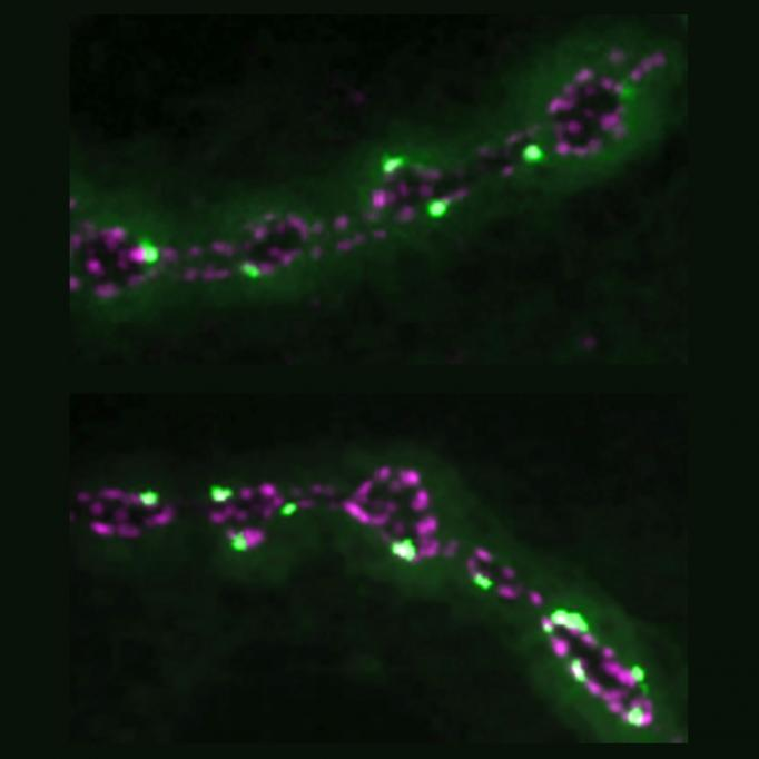 Bright green and bright blue dots line two lengths of a fly neuromuscular junction