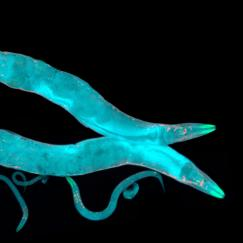 Two nematode worms, glowing light blue, swim over a black background