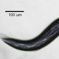A black and white image of a worm with a bluish line down the center